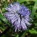 Globulaire à tige nue (Globularia nudicaulis)