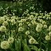 Champ d'ail victoriale (Allium victorialis)