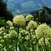 Champ d'ail victoriale (Allium victorialis) et Frutigtal en arrière-plan