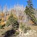 An der Waldbrandgrenze hat es sofort wieder Nadelbäume