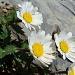 Marguerite de Haller (Leucanthemum/Chrysanthemum halleri)