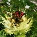 Cirse épineux (Cirsium spinosissimum) et... qui connait ce papillon?