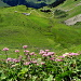 Adénostyle et Alpage d'Oberberg