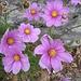 doch auch diese Gartenblumen bereichern zuletzt unseren Ausflug in den Berner Jura