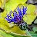 Flockenblume in herbstlicher Umgebung.