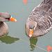 Wasservögel an masse im Naturschutzgebiet Neuhaus - Weissenau