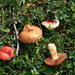 Two poisonous mushrooms: probably Cortinarius and the red one a Russula emetica (Speitäubling)