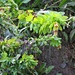 Botanische Seltenheit, wenn auch nicht die Allerschönste: Die Alpen-Wachsblume (Cerinthe glabra)