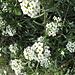 Schneeballblüten Wegrand