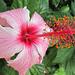 wunderschöne Hibiskusblüte