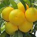 appetitlicher Mandarinenstrauß