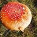Amanite tue-mouche et graine de sapin blanc