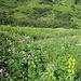 Blumenmeer, dominiert von Gelbem Enzian und Alpendost