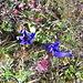 Blühende Enziane Mitte November an den sonnigen Hängen des Schwalmis