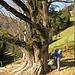 Ein knorriger Baum und ein schuhbindender [u kraxeldani]
