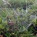 Der Nebel kondensiert an den Spinnweben und zaubert so filigrane Bilder