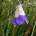 zweifarbige Glockenblume (veilleicht eine Zugerin)