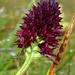 Männertreu (Nigritella nigra) Bränderli