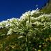 Prés fleuris dans la montée vers Glütschalp
