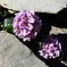 Tabouret à feuilles rondes (Thlapsi rotundifolium)