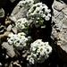Cresson des chamois (Hutchinsia alpina)