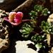 Renoncule des glaciers (Ranunculus glacialis)