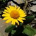 Doronic (Doronicum grandiflorum)