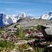 Eiger, Mönch, Jungfrau. A l'avant-plan : Pedicularis verticillata et Cirsium spinosissimum