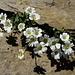 Céraiste (Cerastium latifolium)