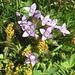 Fleurs du Vallon de Réchy