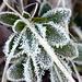 Noch immer Raureif auf den Blättern einer Alpenrose