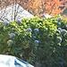 Ortensia fiorita a metà novembre!