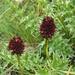 Das Schwarze Kohlröschen (Nigritella nigra) ist während der Blüte eine besonders fein riechende Alpenpflanze. Kein Wunder, die wichtigsten der dufteten Komponennten sind in Parfüms enthalten: Vanillin, Vanillyl-ethylether, Phenylacetaldehyd, Isovaleraldehyd und Benzyl-isovalerat.