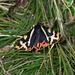 Wegerichbär (Parasemia plantaginis)
