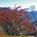 Im Abstieg nach Blatten. Vogelbeerbaum (Sorbus aucuparia)