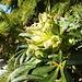 Héllébore Fétide en floraison