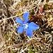 Que fait donc une gentiane en fleur un 27 novembre à 2460m d'altitude?