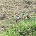 Der Vogel des Tages : Eine Adulte weibliche Schneeammer ( Plectrophenax nivalis), ein Wintergast aus dem ganz hohen Norden, der normalerweise nur an den Küsten anzutreffen ist.
