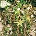 Gemeines Fettkraut im Trettachtal (eine fleischfressende Pflanze)