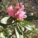Rododendro fiorito a fine novembre (!)