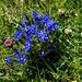 Bayrischer Enzian (Gentiana bavarica)
