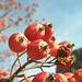 Un richiamo irresistibile per gli uccelli, questi frutti del sorbo alpino
