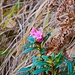 spätblühende Alpenrose