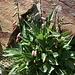 An den Chorreras Negras - Am Rand der Wasserläufe blühen zwischen den Felsblöcken zahlreiche Pflanzen.