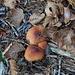 halb vertrocknete Pilze