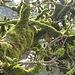 wenig oberhalb vom Löchlibad zeugt auch dieses Baumleben von hoher Feuchtigkeit