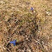 ..... vorbei an immer noch blühenden Enzianen (daß es Wintergerste gibt, ist ja hinlänglich bekannt - aber Dezember-Enziane sind mir neu).