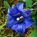 Gentiane de Clusius (Gentiana clusii)