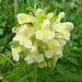 Pédiculaire feuillée (Pedicularis foliosa)