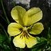 Pensée jaune (Viola lutea)